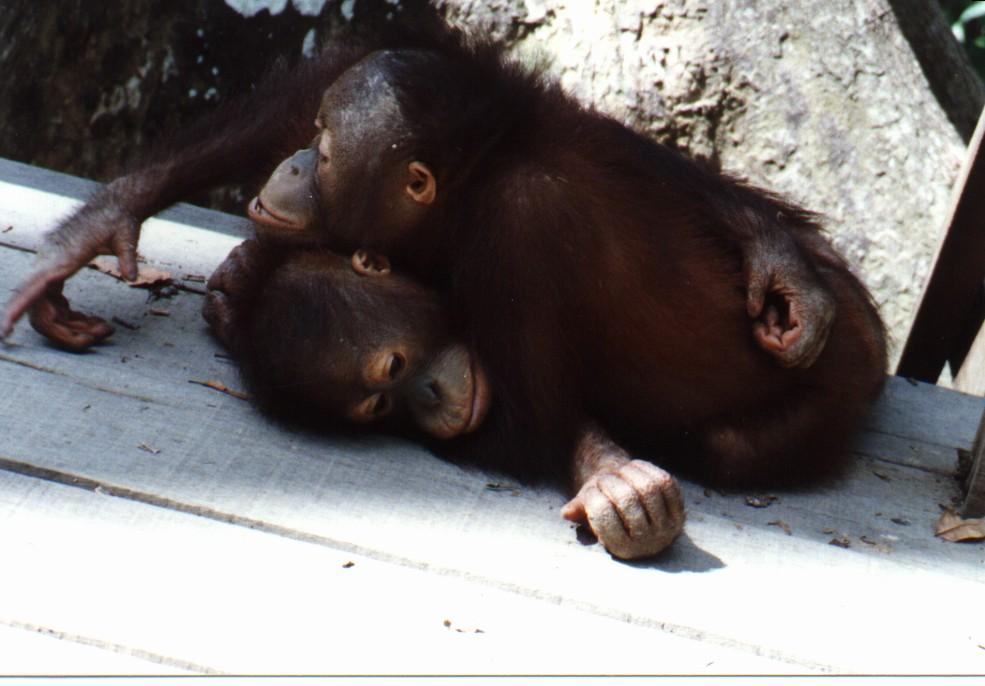 Orangutan09l