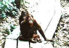 Orangutan08m_small_10