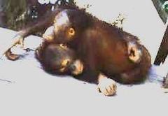 Orangutan09m_small_6